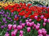 Keukenhof's Tulip Splendors