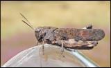 Trumgräshoppa - Psophus stridulushane, male.jpg