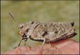 Trumgräshoppa - Psophus stridulushane, female.jpg