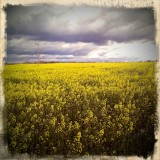 The Canola Fields