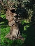profile olve tree.jpg