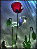 Swimming Poppies 1.jpg
