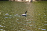 banded_loon