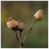 seed pods of Red Campion