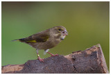 female Greenfinch  (probably with tick)