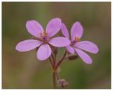 Spergularia sp.
