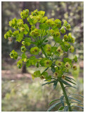 Euphorbia biumbellata