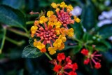 Lantana (Orange spreader)