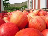 Fresh  Bins Of Gala Apples In Eniat ( at Trader John's)
