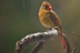 Cardinal waiting in the rain