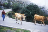 Cattle on the road, Picos de Europa