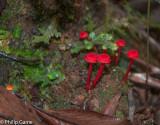 Tiny red fungi