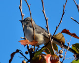 Northern Mockingbird (?)