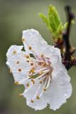 CA - Apple Blossom.jpg