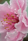 CA - Cherry Blossom 2.jpg