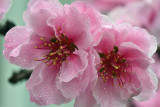 CA - Cherry Blossom 4.jpg