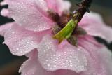 CA - Cherry Blossom 5.jpg
