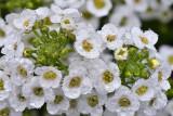 CA - Tiny White Flowers 2.jpg