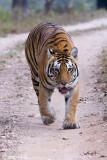 India, January 2013: Tigers