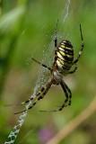 Wasp spider Argiope bruennichi osasti pajek