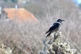 Hooded crow  siva vrana DSC_0761xNpb