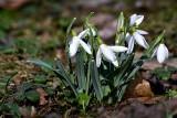Common snowdrop Galanthus nivalis mali zvonček