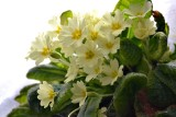 Primrose Primula vulgaris trobentica    DSC_1532xNpb