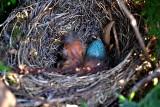 Nest  of the turdus   dsc_1187ypb