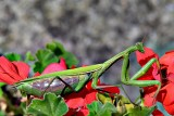 Mantodea  mantis  bogomolka dsc_0396Nzpb