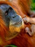 Wild Man of Borneo