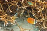 Chevroned Butterflyfish and Klein's Butterflyfish