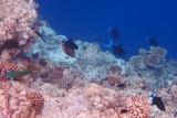 Odonus niger, redtoothed triggerfish