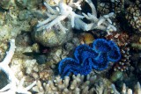 giant clam (Tridacna ssp.)