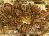 The bee whisperer