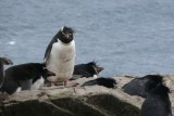 Rockhopper penguins!  What we came to see.