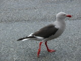 More wildlife - a dolphin gull