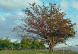 Talisay Tree.jpg
