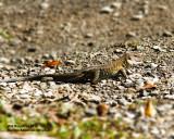 _MG_6222_lizard.jpg
