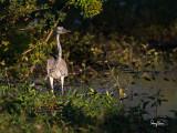 Grey Heron (Ardea cinerea, migrant)   Habitat - Uncommon in wetlands.   Shooting info - Bauang, La Union, Philippines, 7D + 500 f4 IS + Canon 1.4x TC II, bean bag, 700 mm, f/6.3, ISO 200, 1/640 sec, manual exposure in available light.