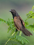 Lesser Coucal   Scientific name - Centropus bengalensis   Habitat - Grassland and open country.   [20D + 500 f4 IS + Canon 1.4x TC, hand held]