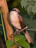 Brown Shrike   Scientific name - Lanius cristatus   Habitat - Common in all habitats at all elevations.   [20D + 500 f4 IS + Canon 1.4x TC, hand held]