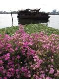 Chao Phraya River Bougainvillea