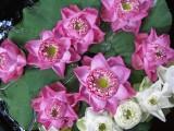 Jim Thompson House water lillies