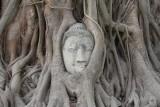 Buddha head overgrown by fig tree
