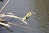 Khao Yai National Park Lizard