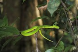 Khao Yai National Park Green Pit Viper