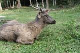 Khao Yai National Park Elk