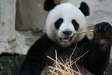 Panda Chuang Chuang eating lunch