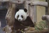 Lin Hui Panda
