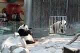 Chuang Chuang checking out Lin Hui